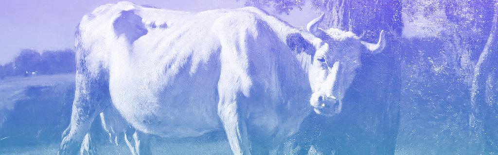 Vache se grattant