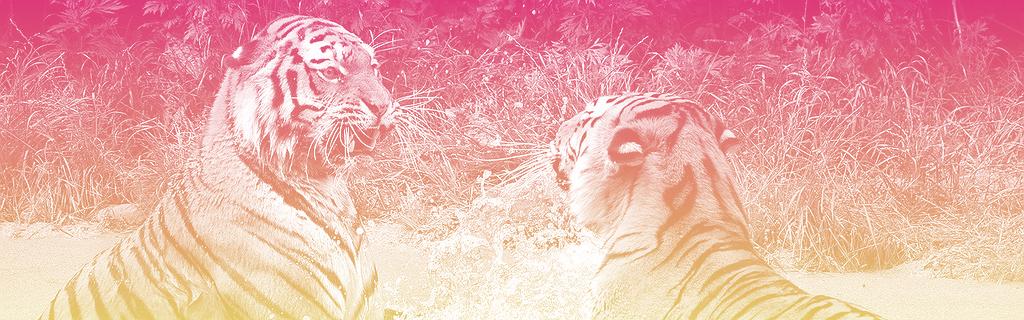 Combat de tigres